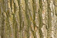Cottonwood Tree Bark Texture