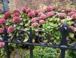 English hydrangeas by M White