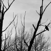 Turkey Vulture Waiting Black and White by Karen Adams