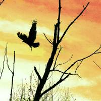 Turkey Vulture Flight Yellow by Karen Adams