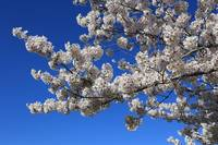 White Blossoms against Blue Sky by Carol Groenen
