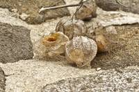 Ground Cherries - Just Before Spring #2