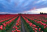 Red Sky over Tulips