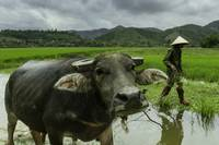 Man With His Water Buffalo