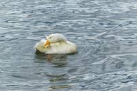 White Duck Preening at Lake Print