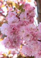 Sunlight through Pink Blossoms by Carol Groenen