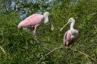 Roseate Spoonbills Two