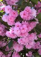 Kwanzan Cherry Tree Blossoms by Carol Groenen