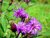Honeybee on Ironweed Wildflower