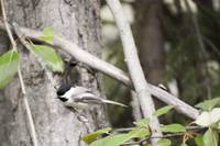 Black Capped Bird