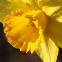 Yellow Daffodil Trumpet by Karen Adams