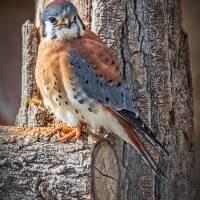 American Kestrel (Sparrow Hawk) Art Prints & Posters by Bill Boehm