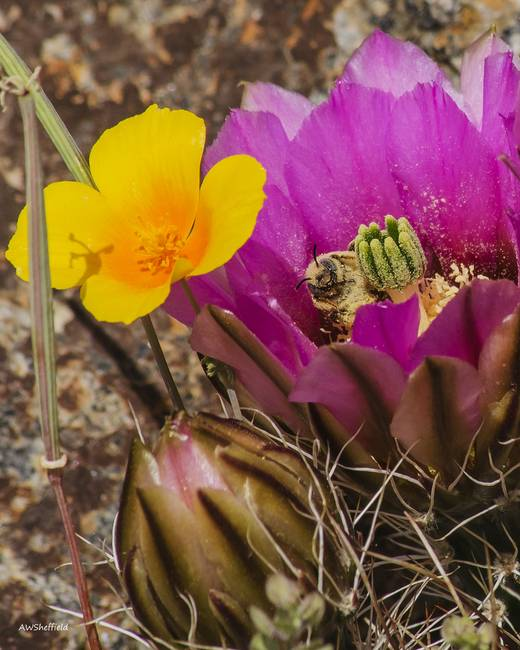Poppy and Cactus Flowers with Bee