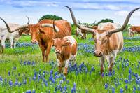 Longhorns Family in Bluebonnets
