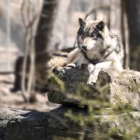 Timber Wolf Portrait Art Prints & Posters by Anthony L. Sacco
