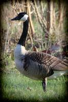 Canada Goose Portrait with Vignette