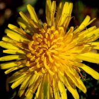 Dandy Dandelion Square by Karen Adams