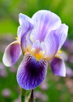 Iris Aglow by Carol Groenen