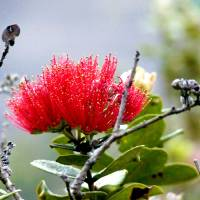 Sacred Ohia-Lehua 3 Art Prints & Posters by LUCILLE DANCINGWIND
