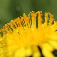 Dandelion Macro by Karen Adams