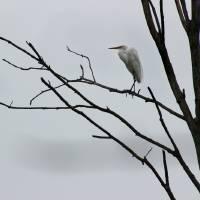 Great Egret in Tree 2016 by Karen Adams