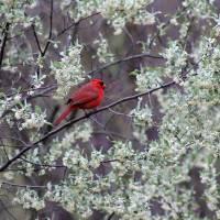 Male Cardinal in Spring by Karen Adams