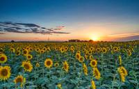 Texas Sunflowers Field at Sunset