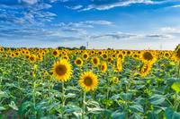 Endless Sunflowers