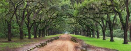 Plantation Live Oak Tree Tunnel Covered In Spanish