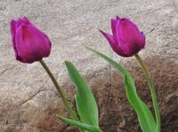 Two tulips and cement