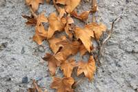 Dried Leaves on a Concrete Wall