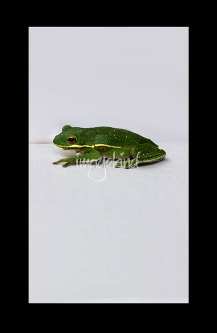 Gree Tree Frog 2016 with Black Border