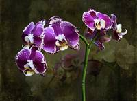 PurpleOrchidGrunge1 by Giorgetta Bell McRee