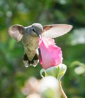 Hummingbird and Pink Rose