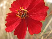 Red Wildflower