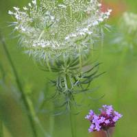 Queen Annes Lace Drybrush by Karen Adams