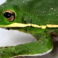 Green Tree Frog 2016 Square #2 by Karen Adams