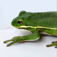 Green Tree Frog 2016 Square by Karen Adams
