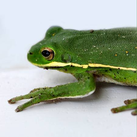 Green Tree Frog 2016 Square