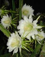 Night Blooming Cirus