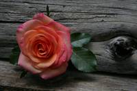 Rose and wood
