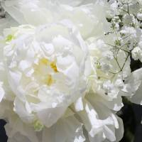 """""""White Peony Flower"""" by Aneri"""