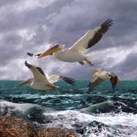 American White Pelicans by I.M. Spadecaller
