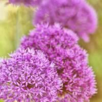 Allium by Lisa Rich
