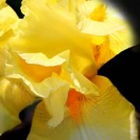 Yellow Iris Close-up 2016 by Karen Adams