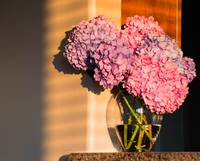 Hydrangea in the Sunlight