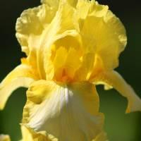 Yellow Iris in Spring Garden 2016 by Karen Adams