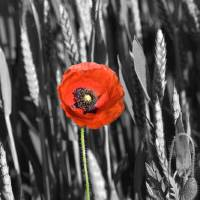 Poppy in Field Art Prints & Posters by Tom Gent