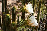 White Cactus Flowers e by Carol Groenen
