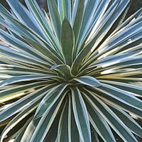 Mesmerizing Agave Plant by Carol Groenen